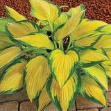 Hosta - Orange Marmalade