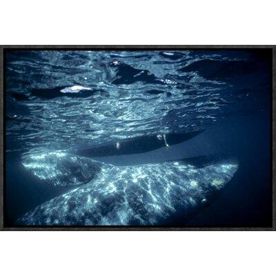 Global Gallery Gray Whale Calf with Tourist Reaching Unde...