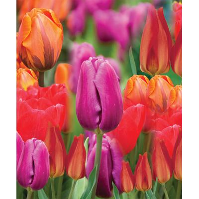 Tulip Bulb Collection - Set of 25